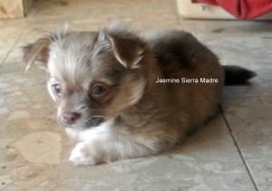 Chihuahua Sierra Madre Hündin Jasmine Sierra Madre,8 Wochen,abzugeben