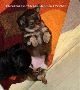 Das Chi Baby ist jetzt 7 Wochen alt, abzugeben mit 10 Wochen 02538 85 402