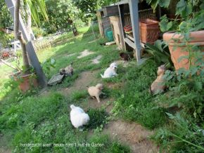 Chihuahua Sierra Madre Aus Der Hundezucht Glanz Hundezucht Glanz Weil Erfolg Kein Zufall Ist