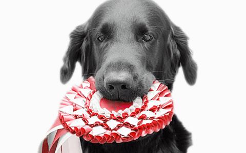 Labrador på utställning