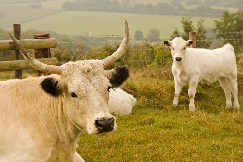 British white cows