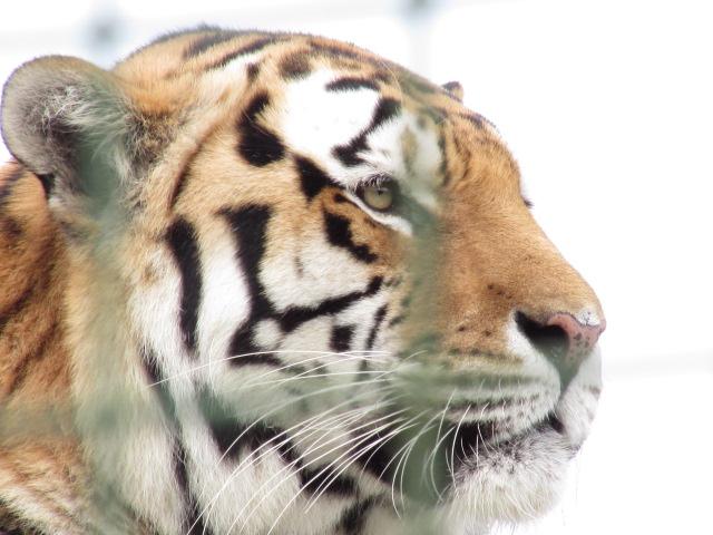 Tiger at WHF Big Cat Sanctuary