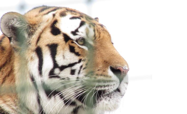 A visit to The WHF Big Cat Sanctuary, Kent