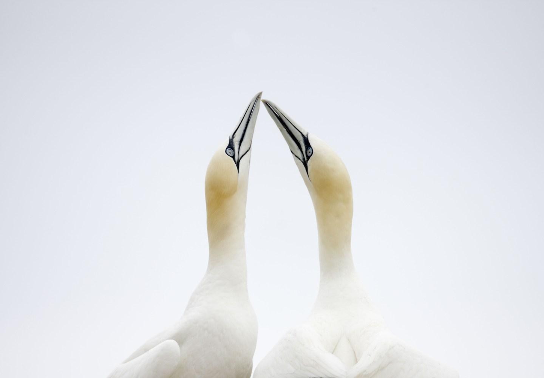 Gannet (Sula / Morus bassanus) courtship, Saltee Islands, County Wexford, Ireland.
