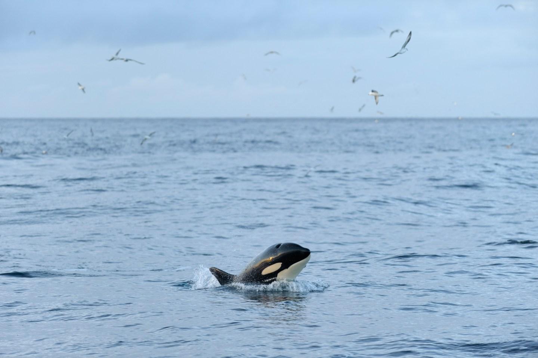 Killer whale (Orcinus orca) following Shetland pelagic trawler 'Charisma', near Shetland Isles, Scotland, UK, October 2012.