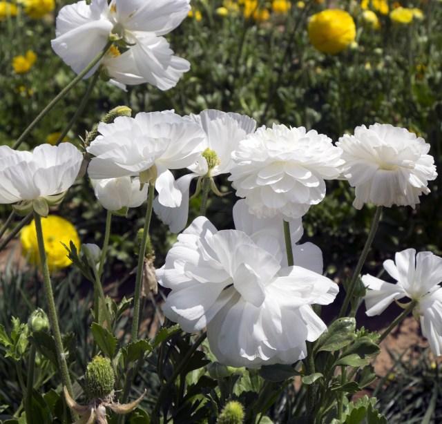 flower.fields.5863