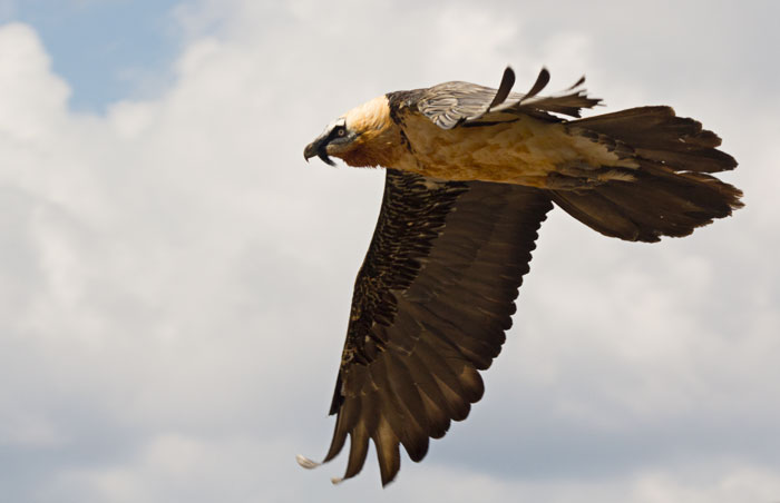 Adult-Lammergeier-in-flight-1