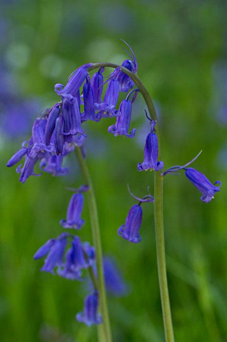 Bluebells, Spring