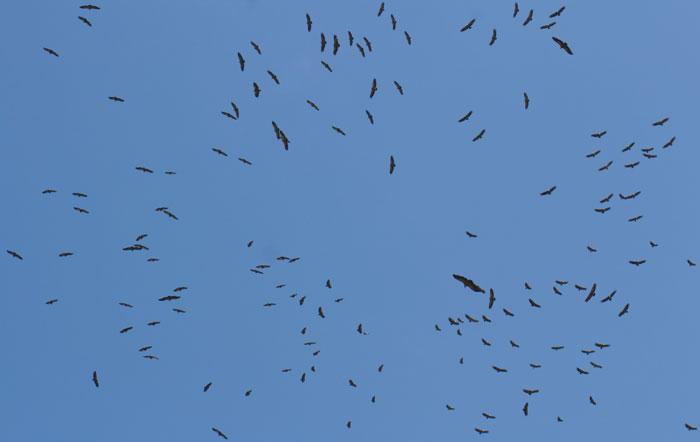 Circling-Vultures