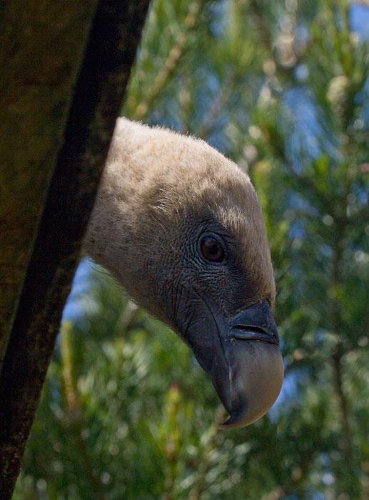 Griffon-Vulture-peek-a-boo