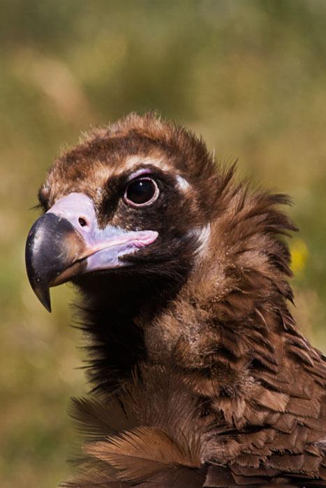 Monk-Vulture-Portrait-1