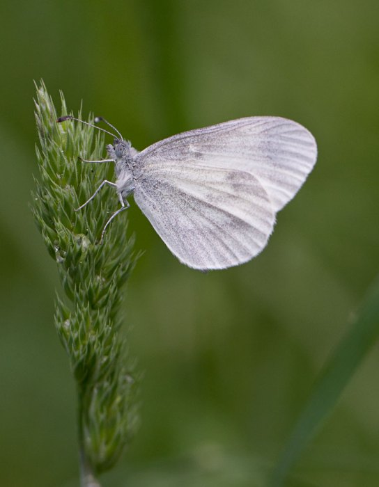 Wood-White-on-grass