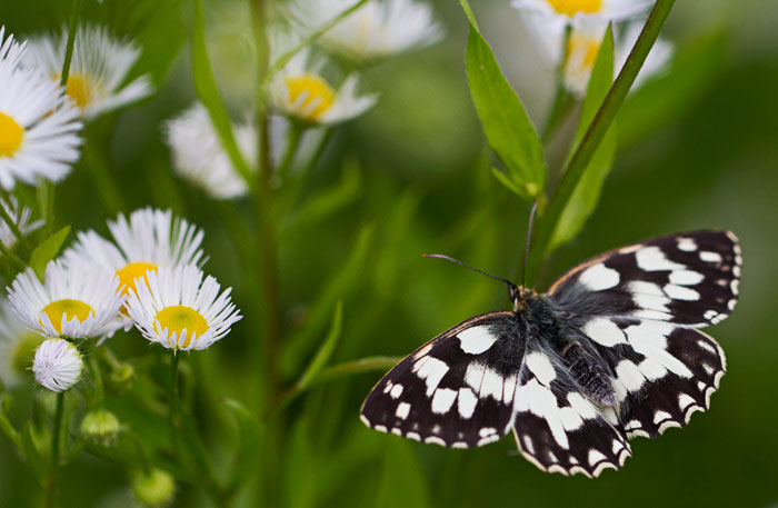 Marbled-White-&-daisies