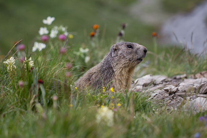 Marmot-among-Wildflowers