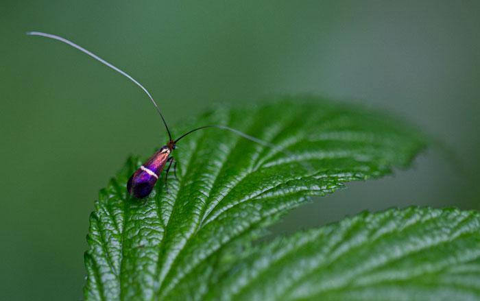 Micromoth-(Adela-croesella)
