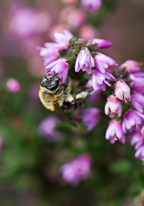 Bee-on-heather