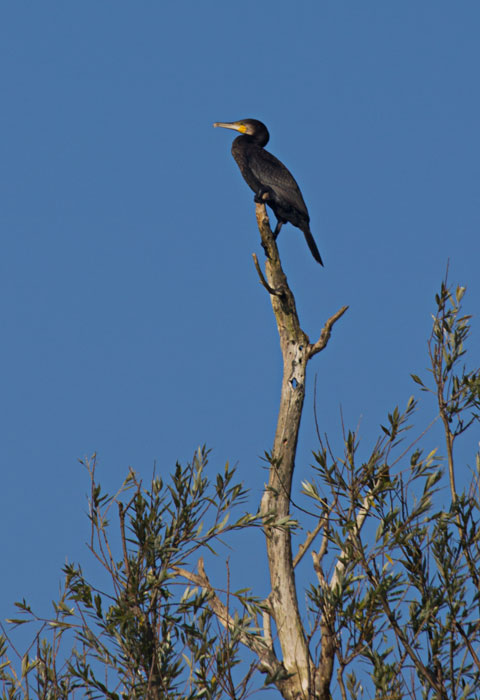 Cormorant-(Phalacrocorax-carbo)