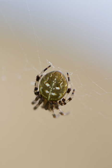 Four-Spotted-Orbweaver