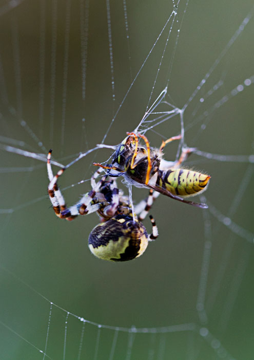 Marbled-Orb-Weaver-&-Wasp