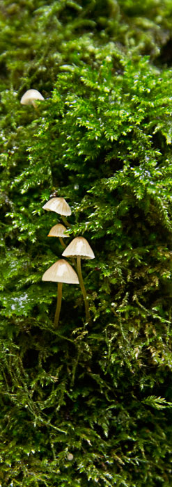 Tiny fungi growing in moss