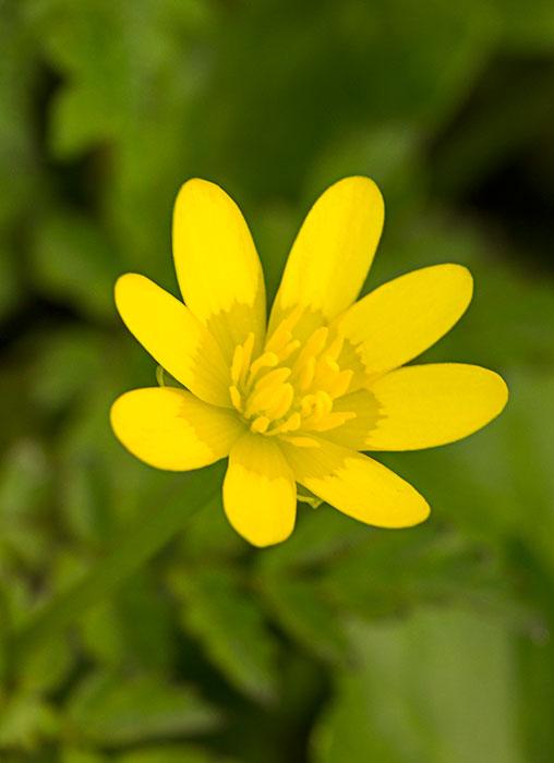 Lesser-Celandine-(Ficaria-verna)