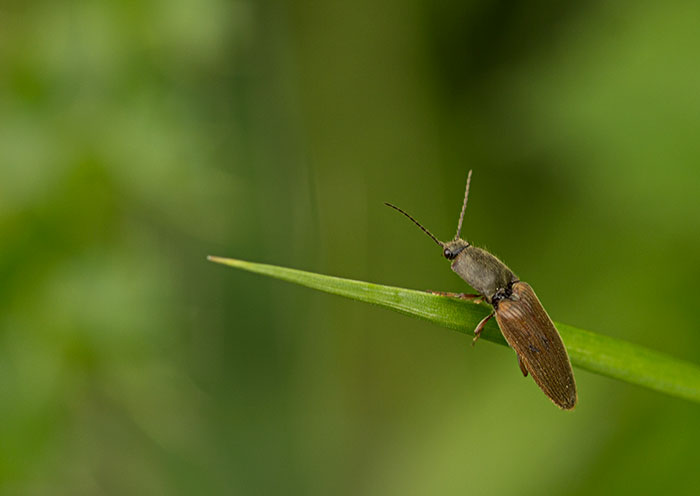 Click-Beetle-(Athous-haemorrhoidalis)