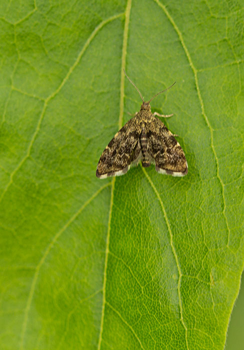 Nettle-tap-Moth-(Anthophila-fabriciana)
