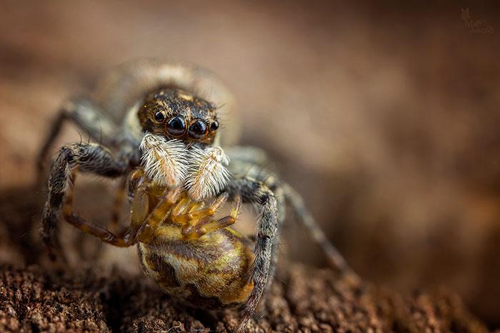 Menemerus semilimbatus eating another spider