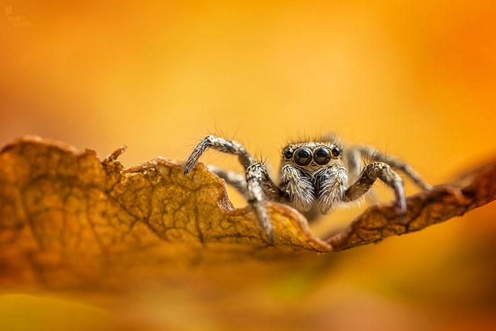 Common zebra jumping spider (Salticus scenicus)