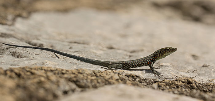 greek-rock-lizard