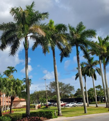 Royal Palm Trees - Clubhouse