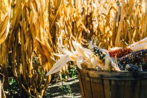 basket of corn in corn field
