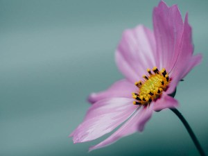 small purple flower on blue background