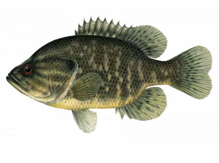 warmouth bass