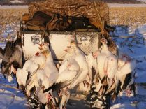 All of my snow goose guides have ATV's. If you look in the upper left of the picture you can see the trucks are parked about a mile away from our snow goose decoys. You don't need an ATV to hunt snow geese and many don't. At Up North Outdoors we think they are a key component to putting on top notch snow goose hunts. You would too if you had to carry these 42 snow geese plus your gear all the way back to the trucks.