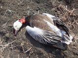 Neck collared snow goose