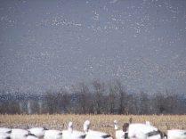 This was taken when there were 1.4 million snow geese on the refuge. When they were leaving the refuge it is an incredible sight. The sky was literally full of birds.
