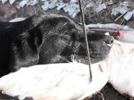 Savannah using resting her head on a down feather pillow after a long day of retrieving snow geese.