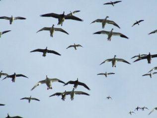 South Dakota Snow Goose Hunts