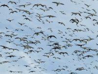 South Dakota Snow Goose Hunting