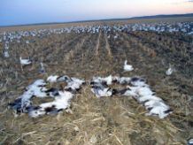 Spring Snow Goose Hunts 2014_029