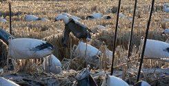 Spring Snow Goose Hunts 2014_046