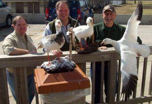 This is the Torzy party picking with the birds shot in 2008. Our snow goose guide Curt Schrader mounted them in the off season and delivers them to the hunters when they hunt the next year. Banded Goose Taxidermy 4909 West Illinois Ave. Hutchinson, KS 67501 620-662-7909