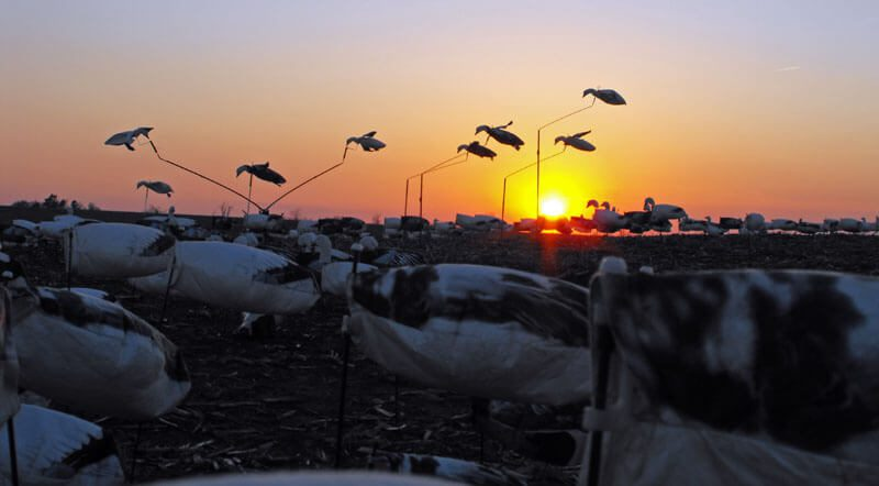 Beautiful end to a beautiful day in the snow goose field.