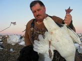 Banded snow geese