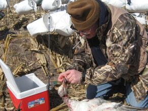 This is Dick Slemons from the Department of Veterinary Preventive Medicine at Ohio State University. He has been collecting swabs from our harvested snow geese for a couple years for his research on defining and controlling infectious diseases in avian species.
