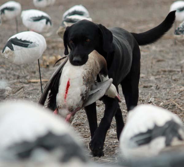 spring-snow-goose-hunt-2013-47