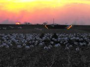 You know the Missouri snow goose season is about over when they start burning the grass on the levees. They sure like to burn stuff in Missouri.