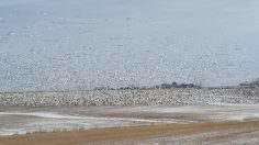 Snow Geese Feeding in a bean field