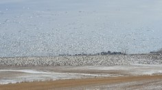 Snow Geese Feeding in a bean field